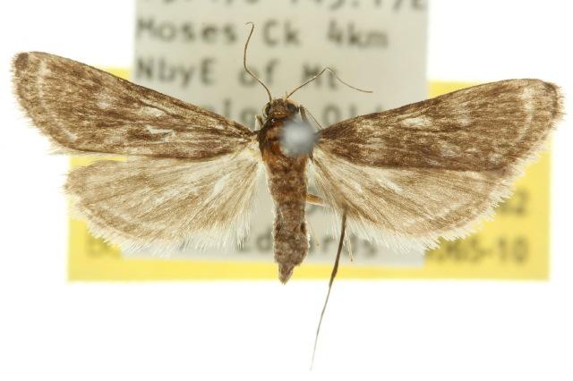 Image of <i>Strepsinoma amaura</i> Meyrick 1897
