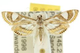 Image of <i>Strepsinoma croesusalis</i> Walker 1859