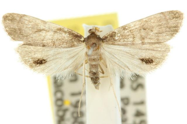 Image of <i>Strepsinoma</i>