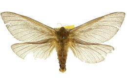 Image of <i>Oxycanus occidentalis</i> Tindale 1935
