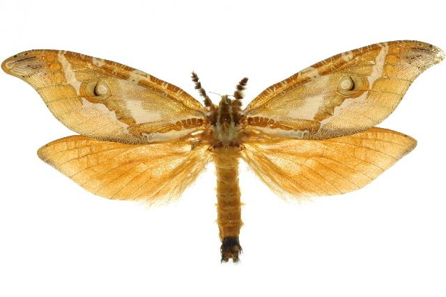 Image of <i>Zelotypia stacyi</i> Scott 1869