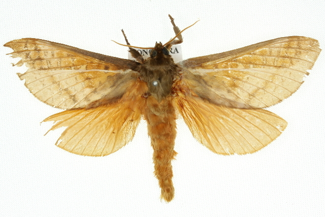 Image of <i>Oxycanus dirempta</i> Walker 1856