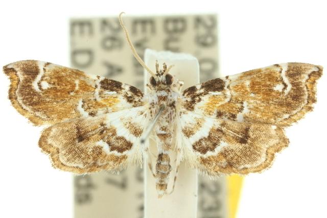 Image of <i>Musotima</i>
