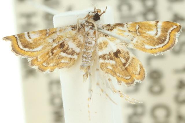 Image of <i>Musotima suffusalis</i> Hampson 1893
