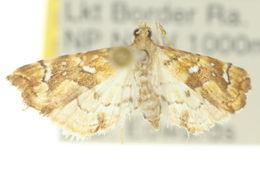 Image of <i>Musotima nitidalis</i> Walker (1866)