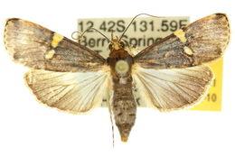 Image of <i>Boeotarcha taenialis</i> Snellen 1880