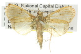 Image of <i>Deanolis albizonalis</i> Hampson 1903