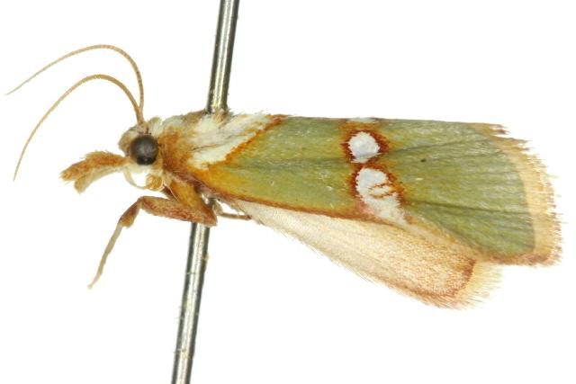Image of <i>Anassodes mesozonalis</i> Hampson 1917