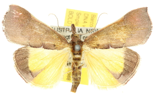 Image of <i>Anemosa exanthes</i> Meyrick 1885