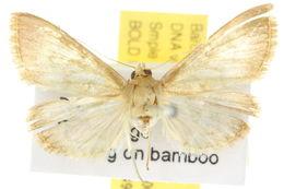 Image of <i>Crypsiptya coclesalis</i> Walker 1859