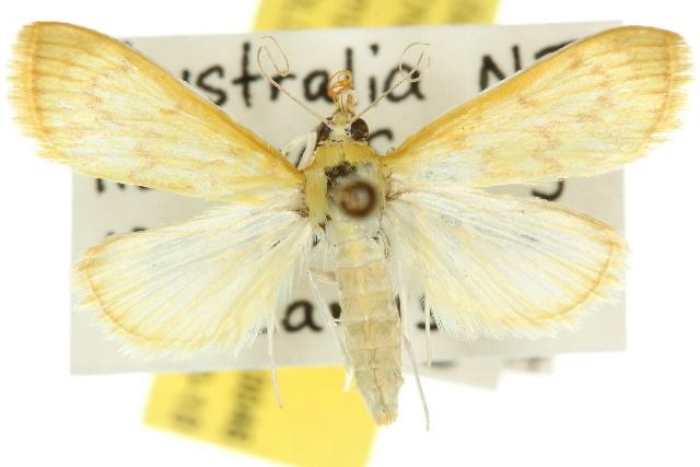 Image of <i>Paliga damastesalis</i> Walker 1859