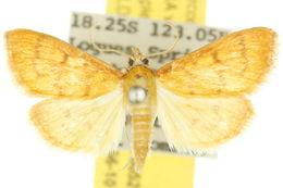 Image of <i>Paliga rubicundalis</i> Warren 1896