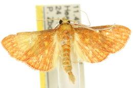 Image of <i>Paliga haematalis</i>