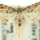 Image of <i>Auchmophoba tynnuta</i>