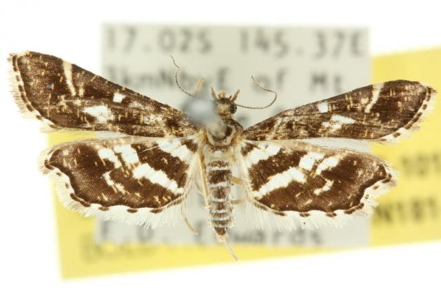 Image of Diasemiopsis