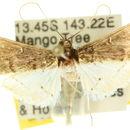 Image of <i>Orphnophanes eucerusalis</i> Walker 1859