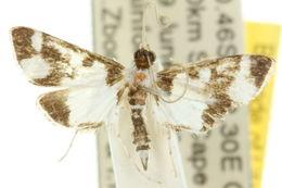 Image of <i>Cissachroa callischema</i> Turner 1937