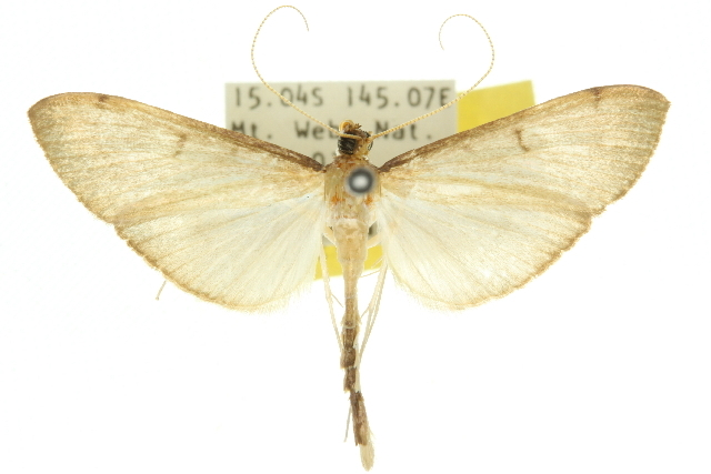 Image of <i>Bradina mannusalis</i> Walker 1859