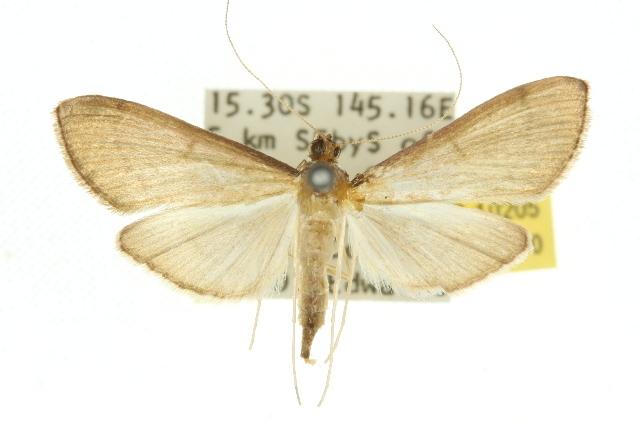 Image of <i>Bradina mannusalis</i> Walker 1859