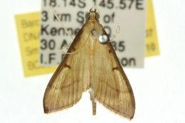 Image of <i>Bradina admixtalis</i> Walker 1859