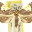 Image of <i>Atelocentra chloraspis</i> Meyrick 1884