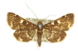 Image of <i>Piletocera meekii</i> Lucas 1894