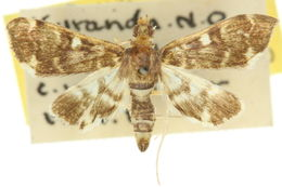 Image of <i>Piletocera albimixtalis</i> Hampson 1917