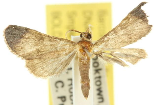 Image of <i>Piletocera macroperalis</i> Hampson 1897