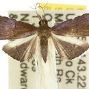 Image of <i>Myriostephes leucostictalis</i>