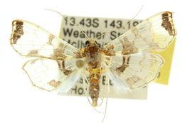 Image of <i>Didymostoma aurotinctalis</i> Hampson 1898