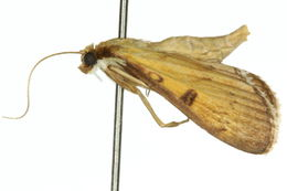 Image of <i>Tatobotys biannulalis</i> Walker (1866)