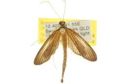 Image of <i>Hymenoptychis sordida</i> Zeller 1852