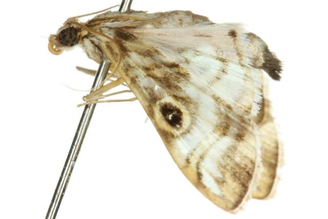 Image of <i>Dysallacta megalopa</i> Meyrick 1889