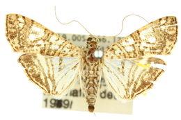 Image of <i>Glyphodes pulverulentalis</i> Hampson 1896