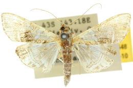 Image of <i>Glyphodes</i>