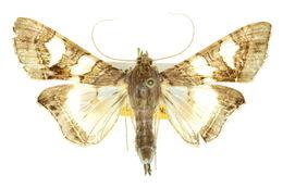 Image of <i>Glyphodes cosmarcha</i>