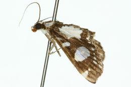 Image of <i>Glyphodes conjunctalis</i> Walker (1866)