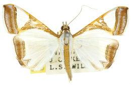 Image of <i>Agrioglypta eurytusalis</i> Walker 1859