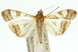 Image of <i>Agrioglypta zelimalis</i> Walker 1859