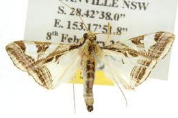 Image of <i>Agrioglypta excelsalis</i> Walker (1866)