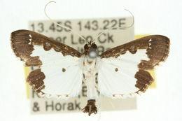 Image of <i>Caprinia felderi</i> Lederer 1863