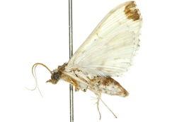 Image of <i>Analyta albicillalis</i>