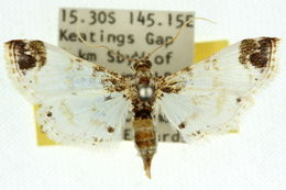 Image of <i>Analyta apicalis</i>