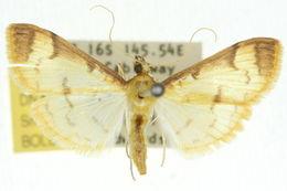 Image of <i>Cotachena aluensis</i> Butler 1887