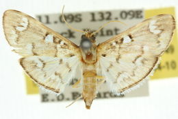 Image of <i>Cotachena hicana</i>