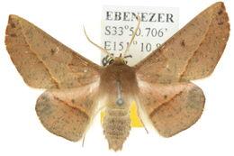 Image of <i>Antictenia punctunculus</i> T. P. Lucas 1892