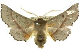 Image of <i>Antictenia torta</i> Prout 1921