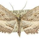 Image of <i>Enchocrana lacista</i>