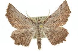 Image of <i>Symphylistis leptocyma</i> Turner 1930