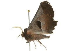 Image of <i>Nycticleptes lechriodesma</i> Turner 1939